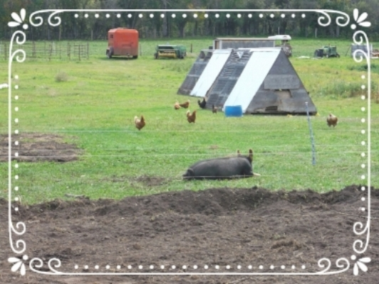 """""""Happy"""" laying hens sharing a pasture with a friend"""