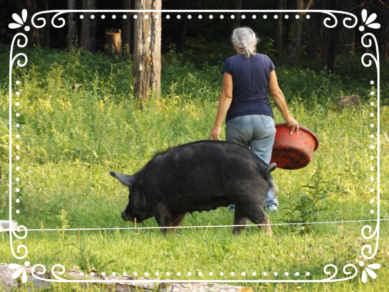 Moving a heritage Berkshire hog to a new forest pasture