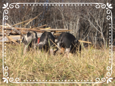 Adventuresome piglets on pasture