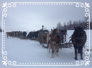 Our bale hauling sleigh rolls the big round bales out so all the cattle can reach the hay.