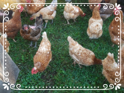Our Laying Hens are fresh, green pasture in season