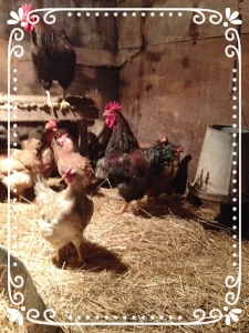 The laying hens in their winter house