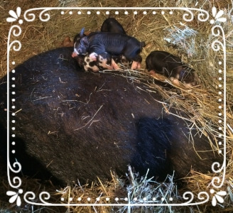Mama Sow with her day old piglets (she is the big, black spot part covered with straw)