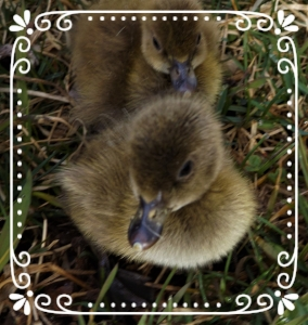 Two day old ducklings from last spring's hatching
