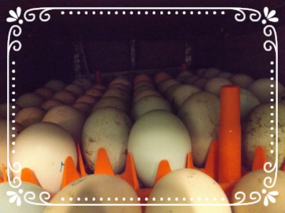 A mixture of duck and chicken eggs in the incubator