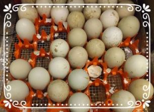 An incubator tray with some eggs already hatched. The bits of shell are what the babies have pipped, then left behind.