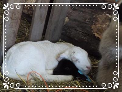 Newborn Twin Lambs resting together