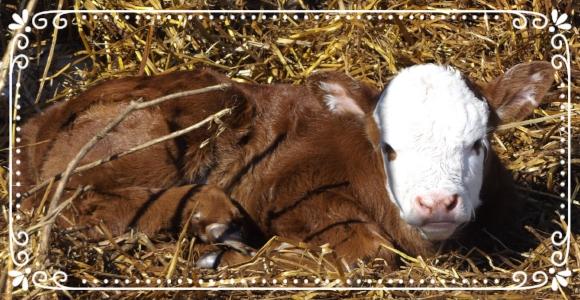 A much nicer day for newborn calves
