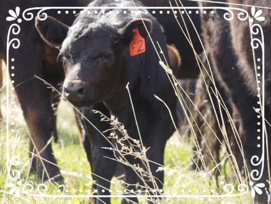 Future grassfed beef