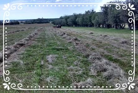 Raking hay in preparation for baling