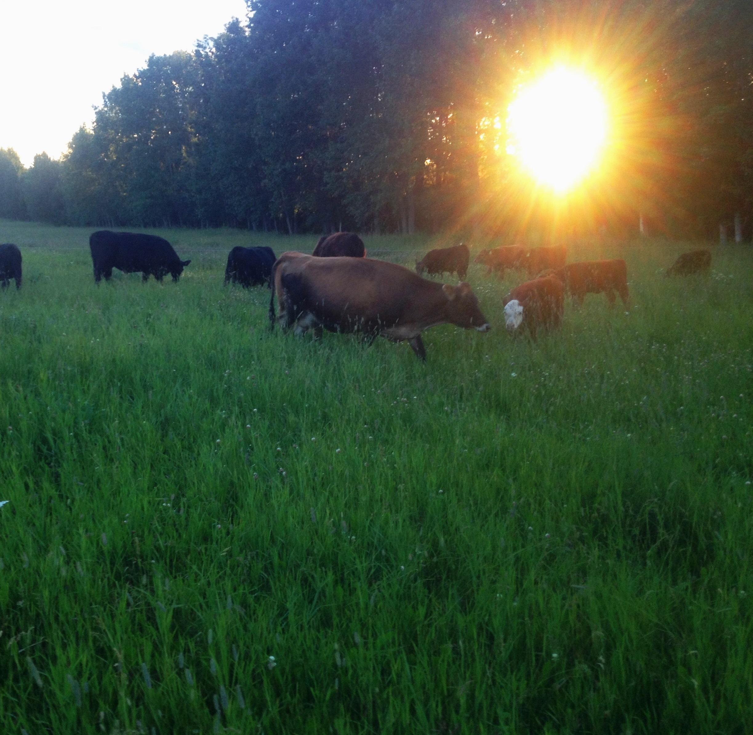 Grass-fed Cattle.JPG