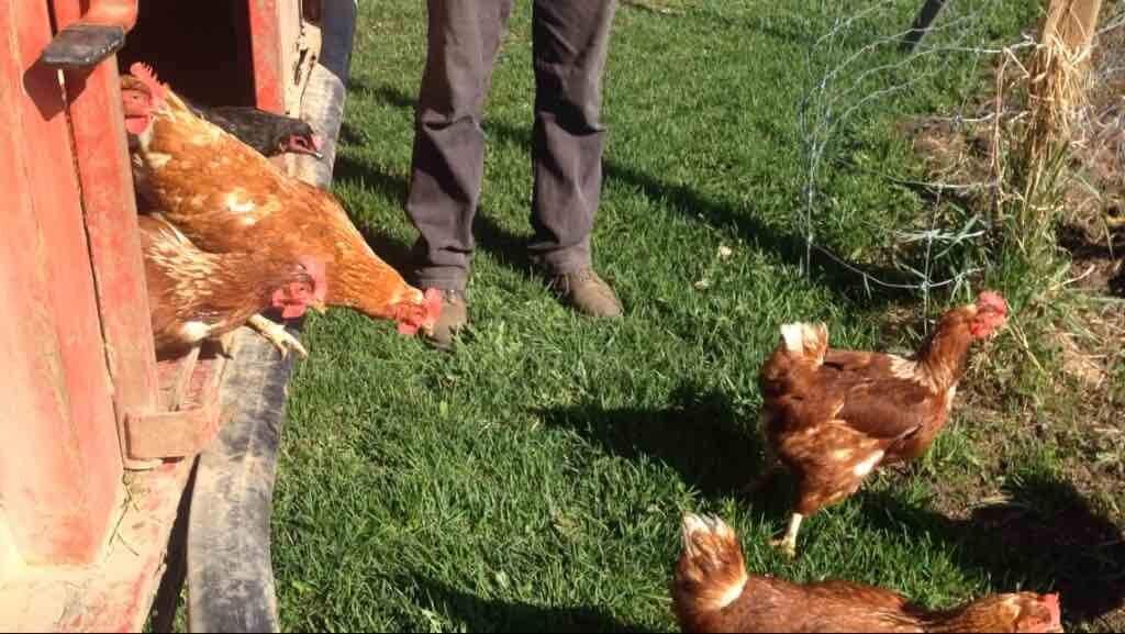 Laying Hens.JPG