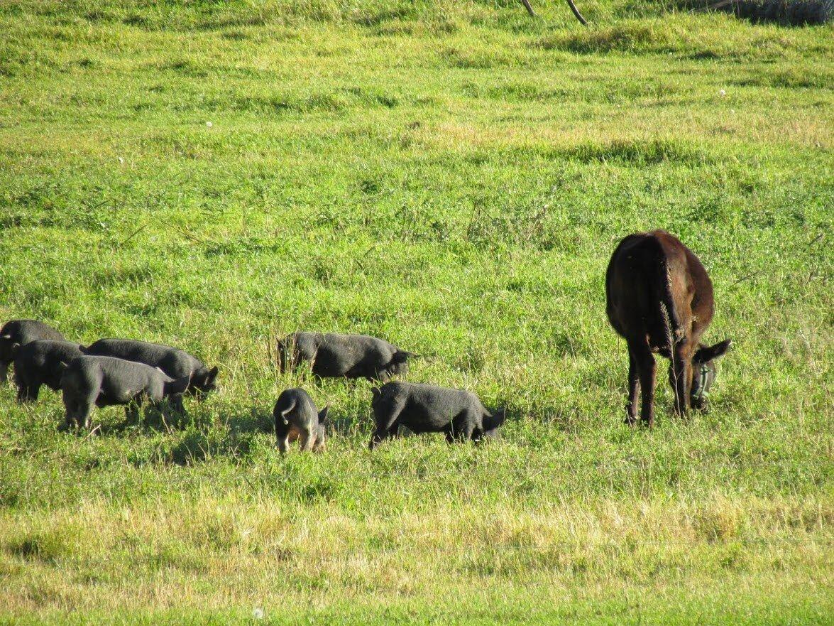 Pastured Pigs.JPG