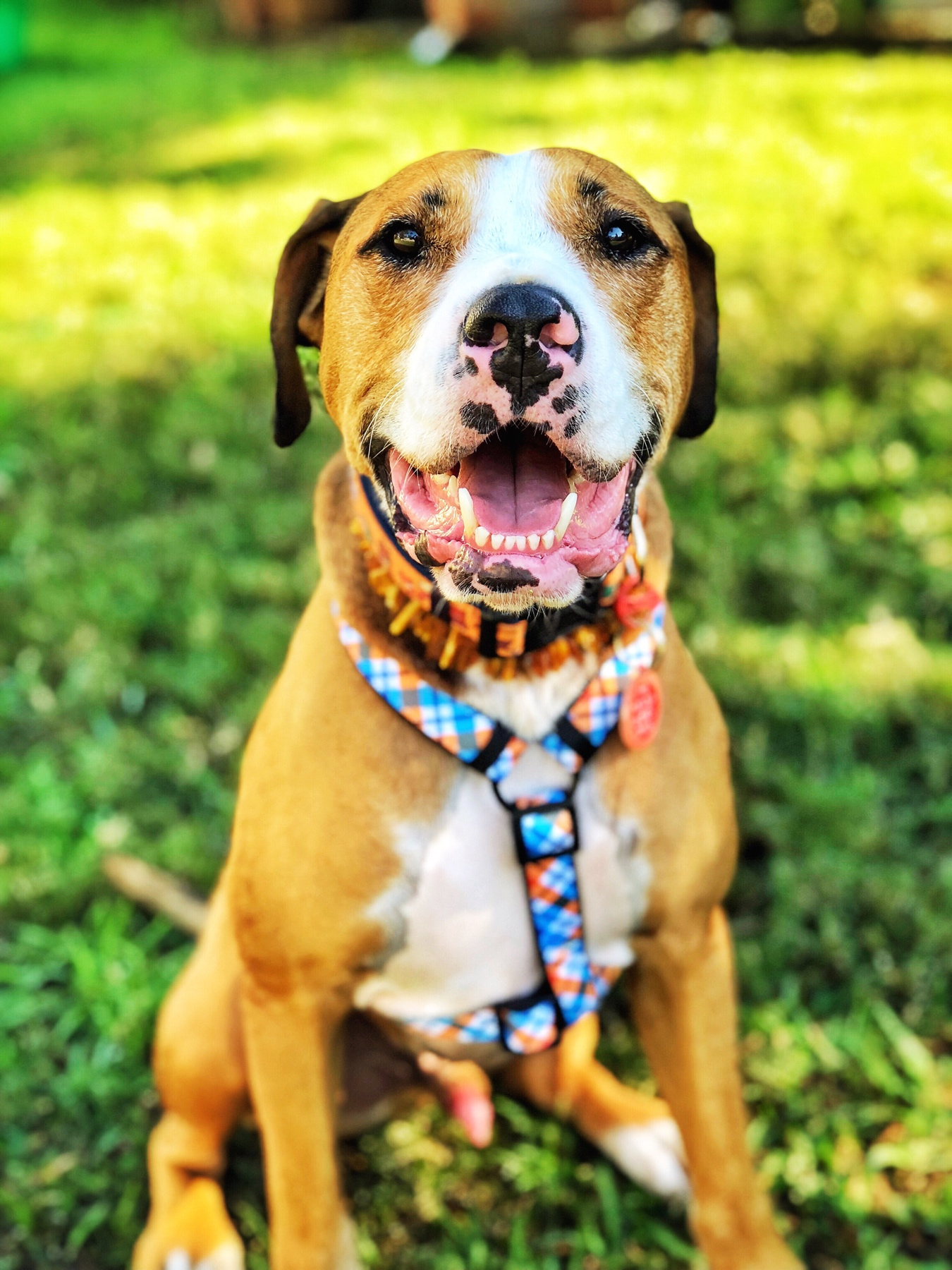 Amos loving life in his  Baltic Amber Collar  and  Dizzy Dog Collar Co. Harness