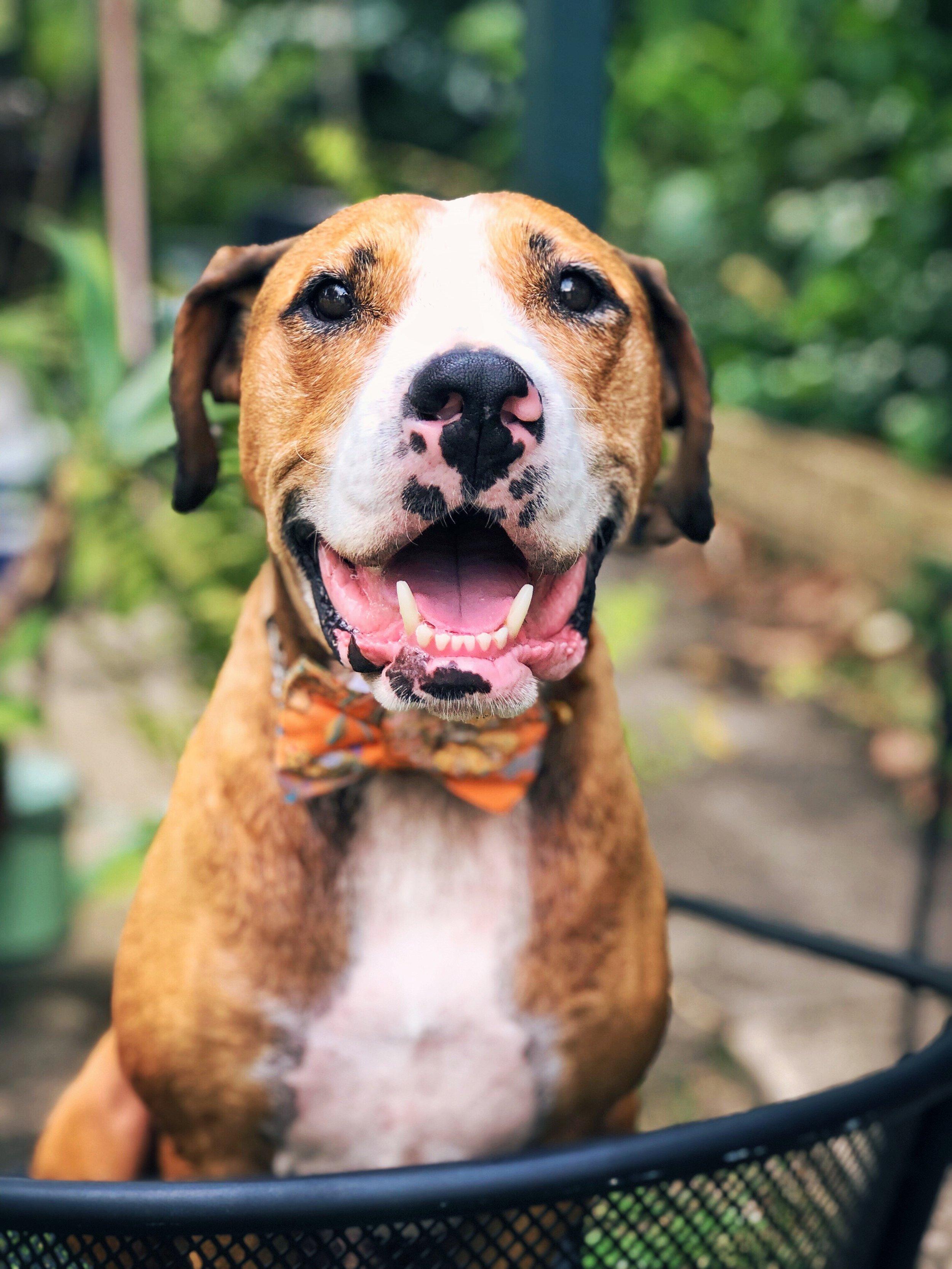 cute-dog-bowtie-fashion-happy.jpeg