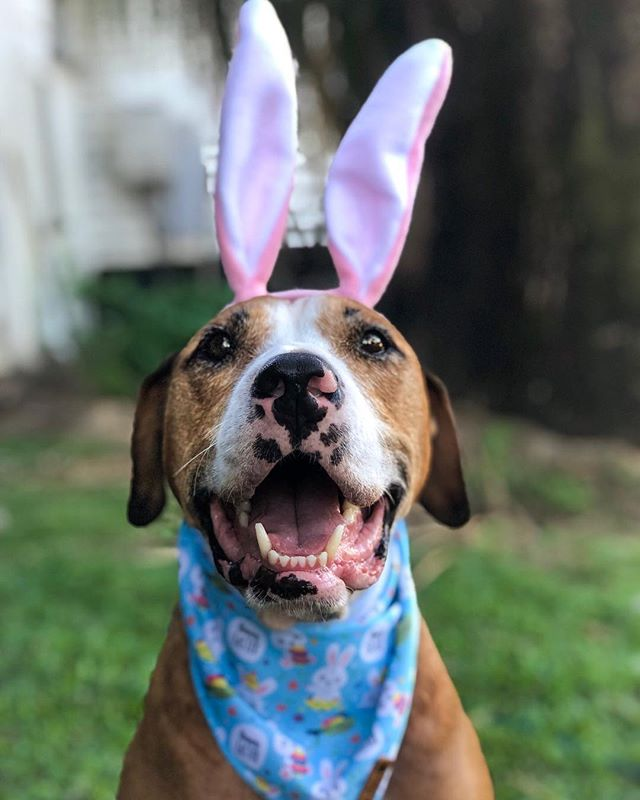 I haz sumfin very impawtant to share with YOU.  I found a RABBIT⁣⠀ #whpplanetearth ⁣⠀ ⁣✨⠀ I kid you not I found a rabbit on Easter Saturday my friends❗️⠀ ✨⠀ Now, something you need to know about me is that I am always on alert. ⁣⠀ King Amos must protec at all times.⁣⠀ ⁣✨⠀ So when we first got to Grandma and Grandad's I had a very good sniff around as I always do.  You know, checking out what's been going on and hoping that just maybe, grandma didn't leave the cat in her bedroom away from me yet again.⁣⠀ ⁣✨⠀ Now, one must also do a perimeter search once every 5-10mins cause you know what is going to happen.⁣⠀ ⁣✨⠀ So the hoomans were eating dinner and I was taking a particularly long time on the current perimeter search.  Out of the corner of mums eye, she saw a rabbit go hopping past and duck out under the fence.⁣⠀ ⁣✨⠀ She quickly comes to find me and sees me in full hunt mode.  Head down, bum up and sniffing every square inch of grass and more than once.⁣⠀ ⁣⁣✨⠀ Mum has also never seen a rabbit at the house ever!❗️⠀ ⁣✨⠀ I did not stop until the hoomans decided rabbit hunting was over and popped me in the car to go home.  I fell asleep almost immediately, slept all day Sunday and most of today. ⁣⠀ ⁣✨⠀ And this my friends is the very reason why I am always exhausted after adventures.  My hoomans are slowly teaching me that it's ok and that they will help me out and take over the role but...⁣⠀ ⁣✨⠀ Now I bet you didn't see that coming.  Mum still can't believe it❗️⠀ ⁣✨⠀ ❓So do you have any good Easter stories to share with me❓❓❓⠀ ⁣✨⠀ Happy Easter Monday⁣⠀ 👉🏻 Stay tuned for my Easter Egg hunting video coming tomorrow⁣. It was so fun.⠀ .⁣⠀ .⁣⠀ .⁣⠀ .⁣⠀ .⁣⠀ #happydog #cutedog #doglife #dogsmile #instadogs #lovedogs #ilovemydog #dogslife #catahoula #dogoftheday #doglovers #instagramdogs #mydog  #happydog_feature #bestdogever #doggie #dailyfluff ⁣⠀ #thedodo #rescuedogsrock #rescuepup #rescuefactor #muttskickbutt #pibble #endbsl ⁣⁣#beaglemix #beaglelover #ビーグル ⁣⠀