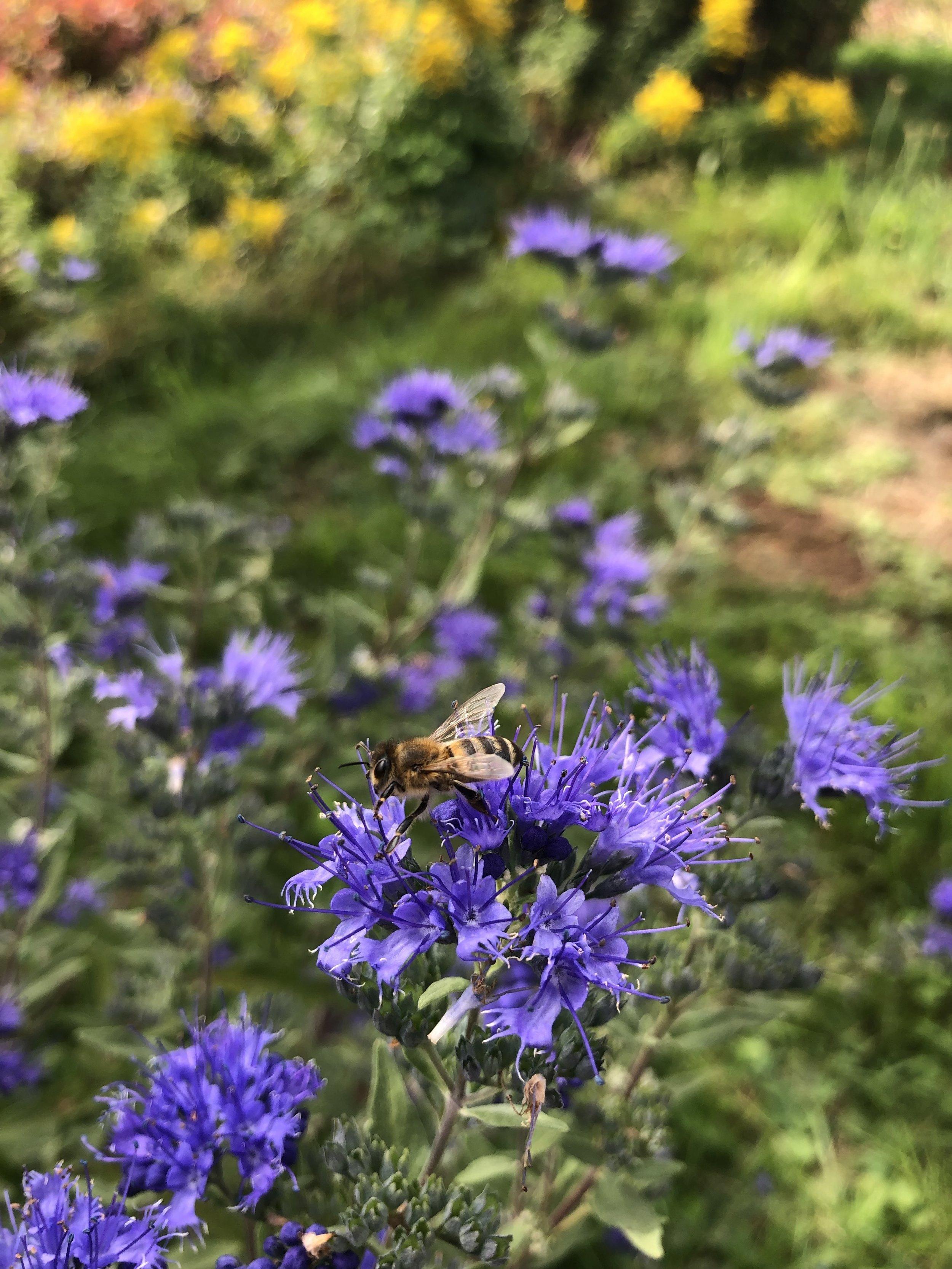 """Bartblume """"Heavenly Blue"""" (Caryopteris) - erhätlich in der Baumschule Entenmann"""