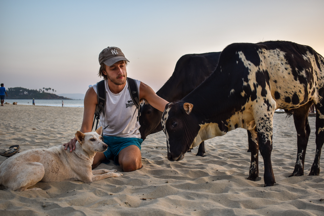 Cows wandering freely on the beach in Goa, India
