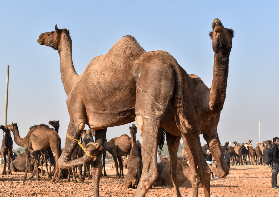 Many tourists visit this annual fair to partake in camel riding while the animals are suffering in terrible working conditions from painful injuries that often go untreated. Pushkar, India