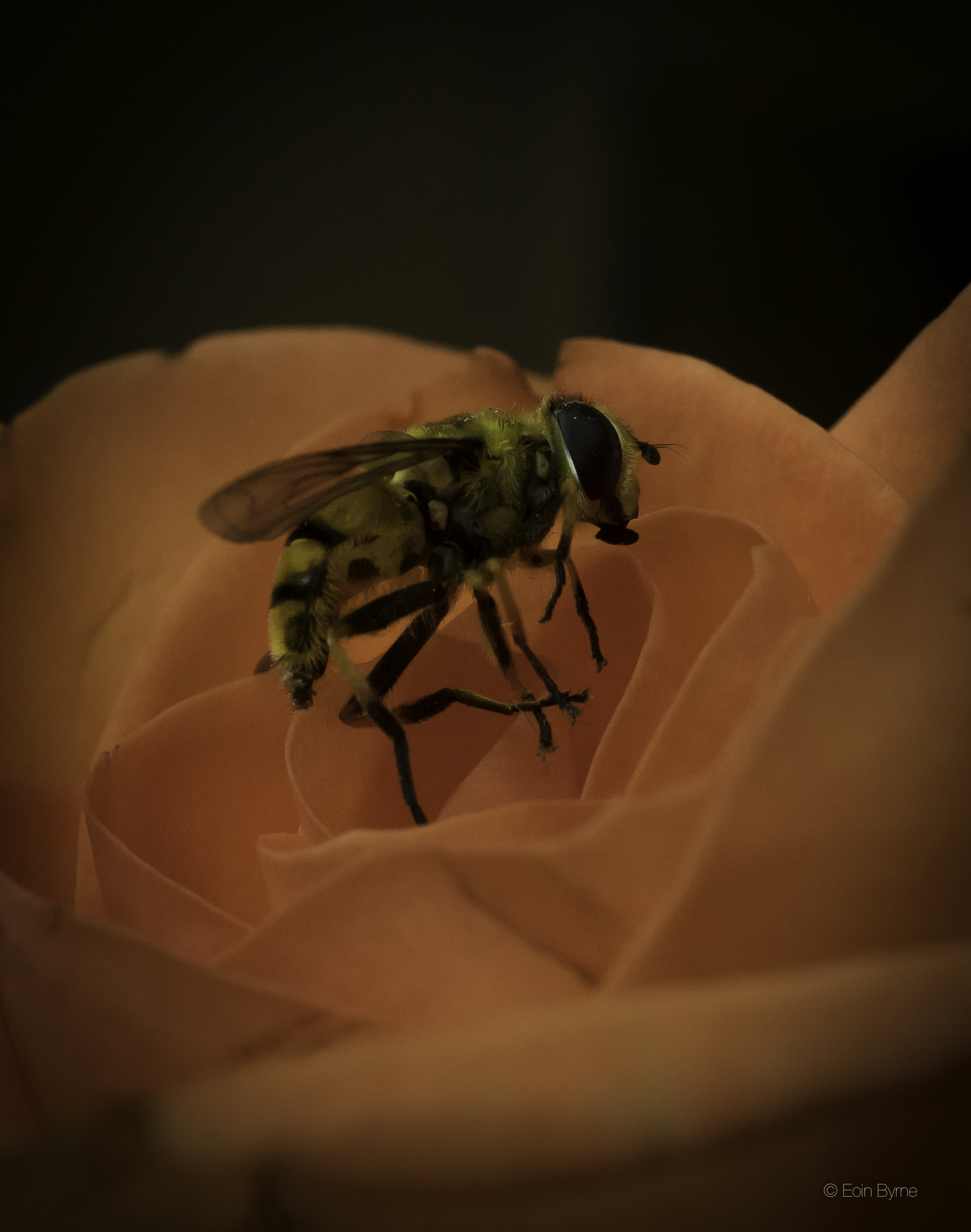 A wasp and a rose 3.jpg