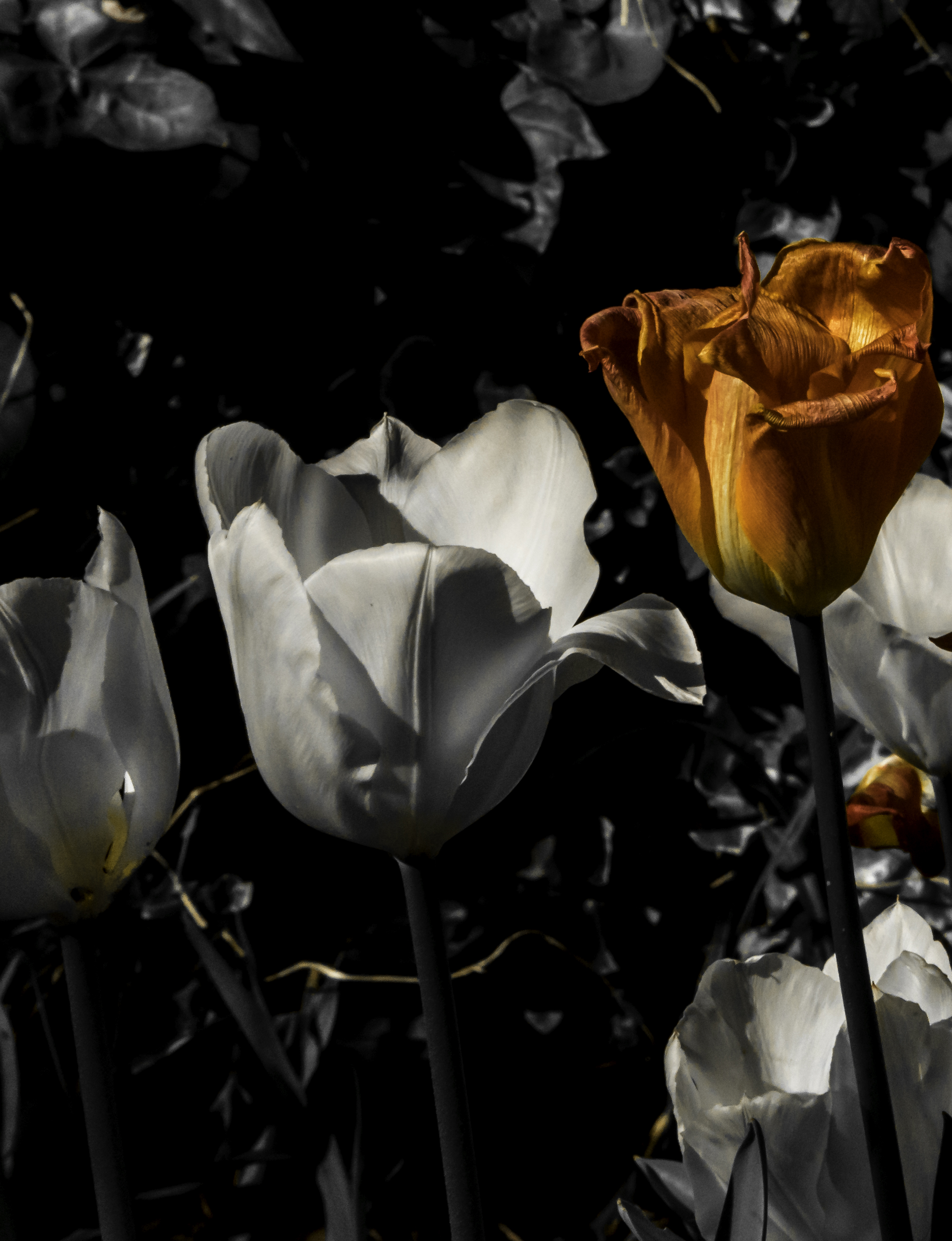 Blown tulips B&W and orange_.jpg
