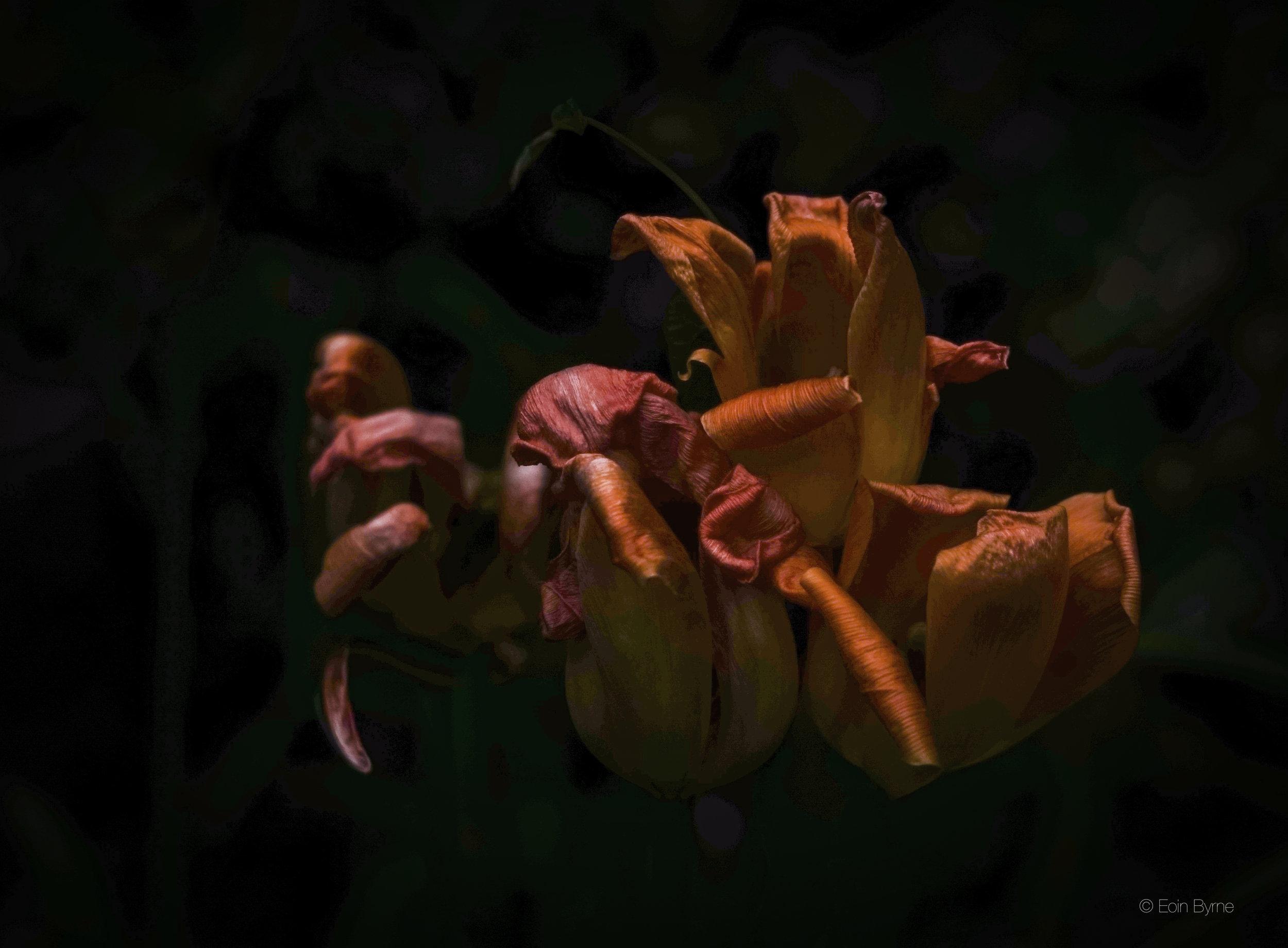 3 tulips (red) against b&w 2_.jpg