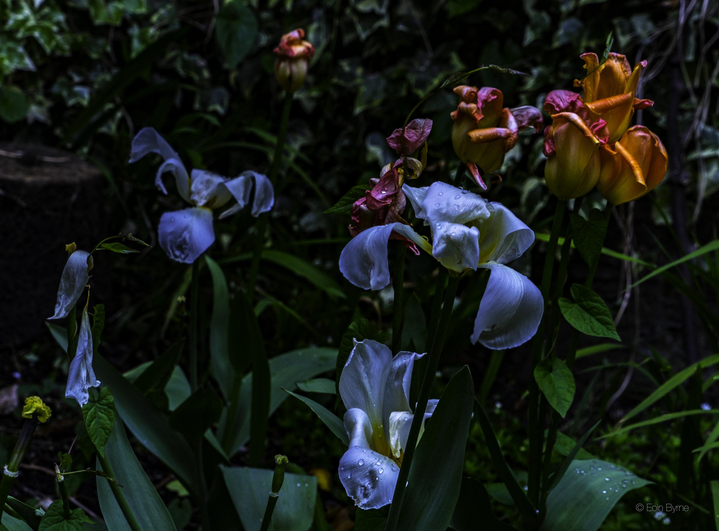 Blown tulips in the dark.jpg