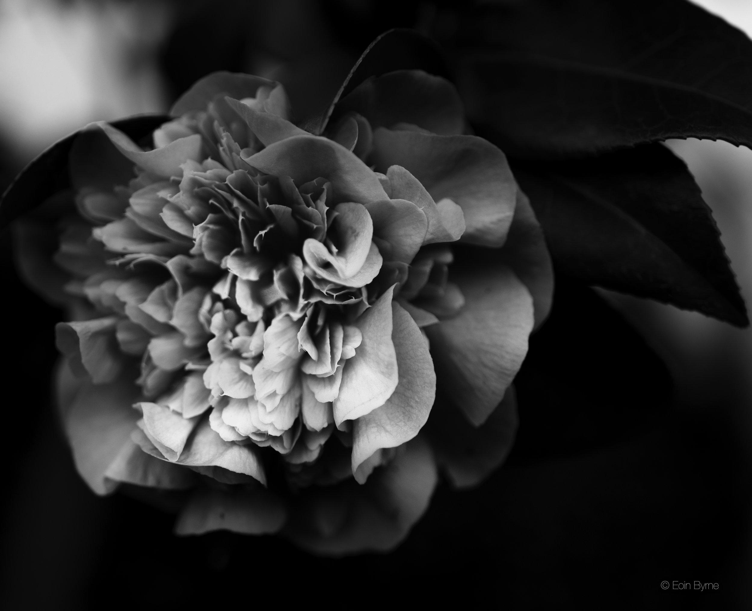 Noir flower.jpg
