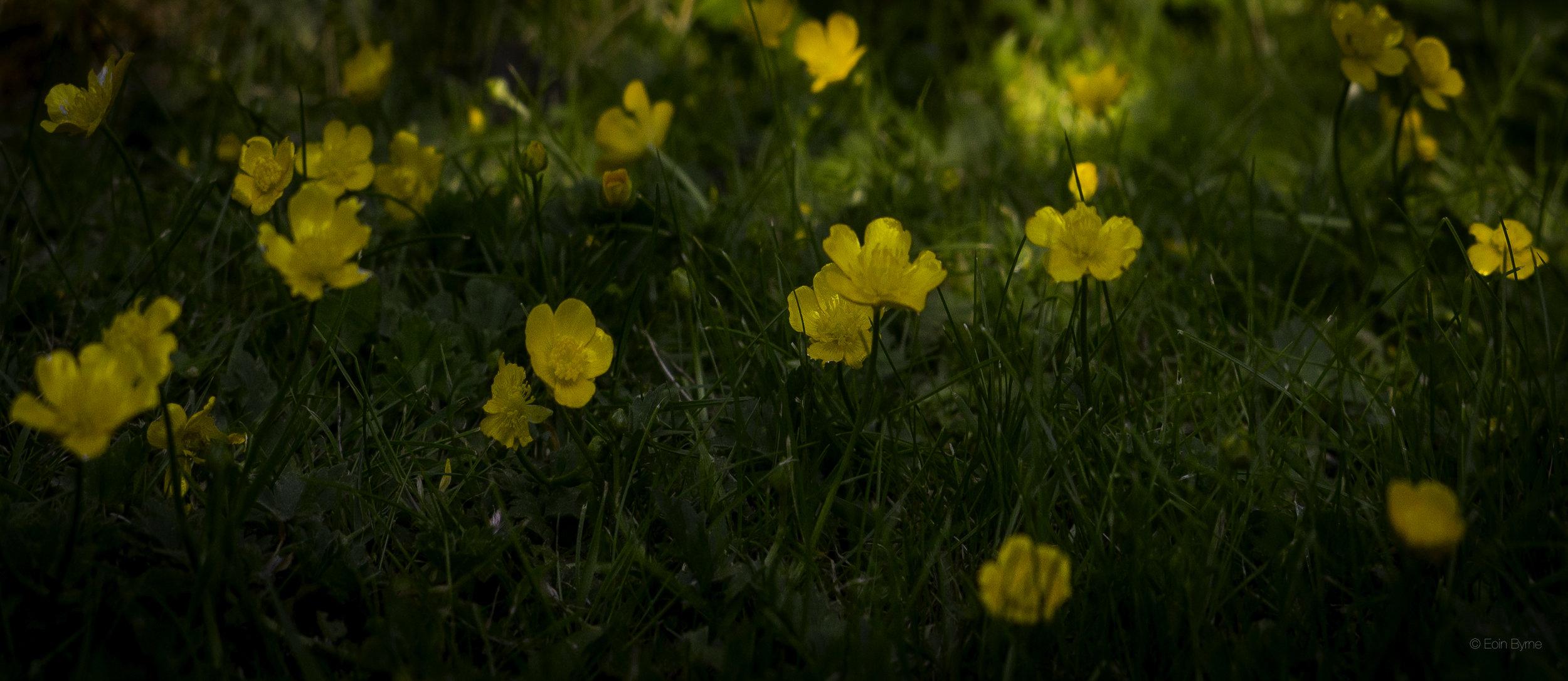 Buttercups in the late sun 2.jpg