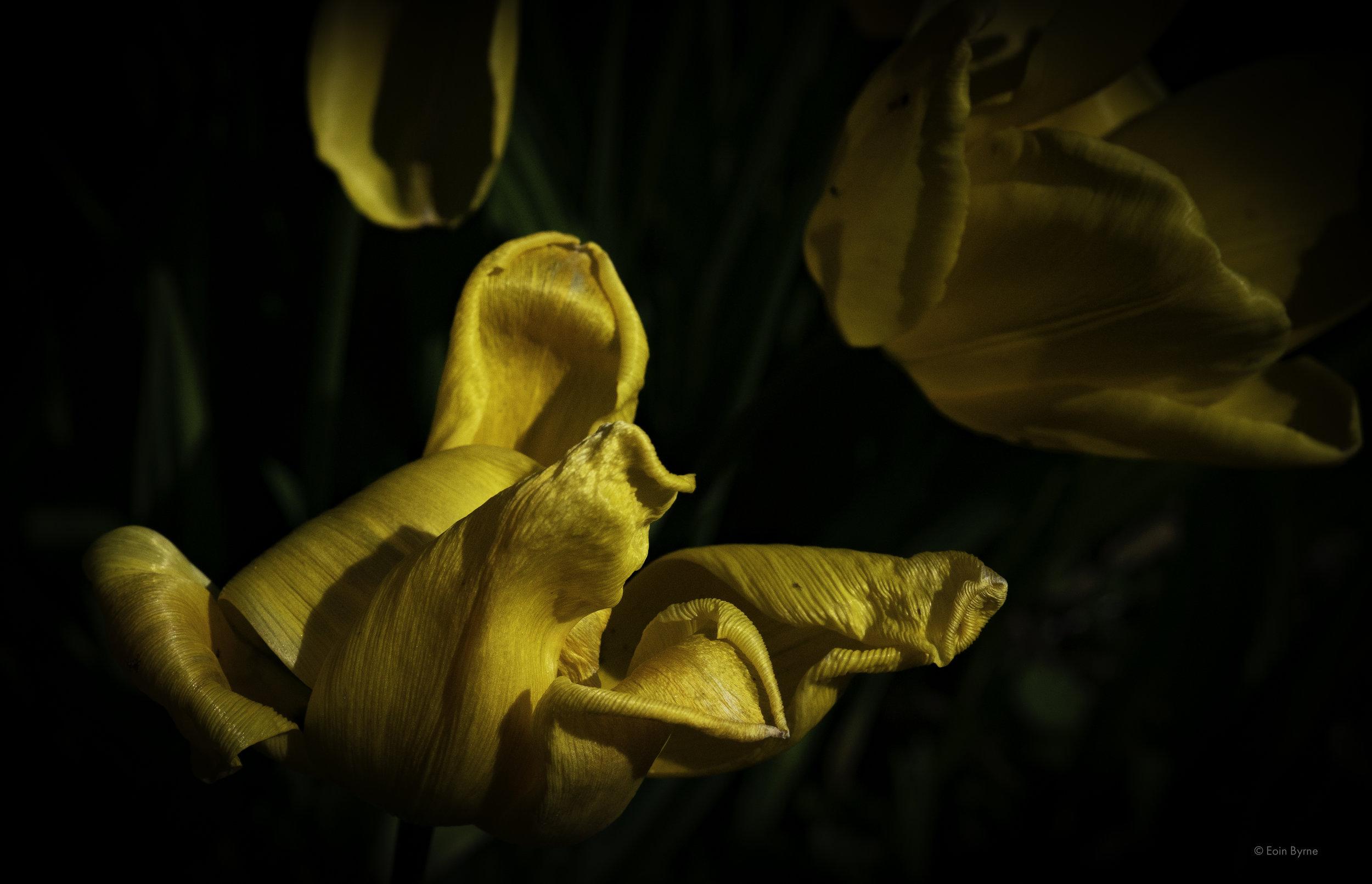 Falling tulips 5.jpg