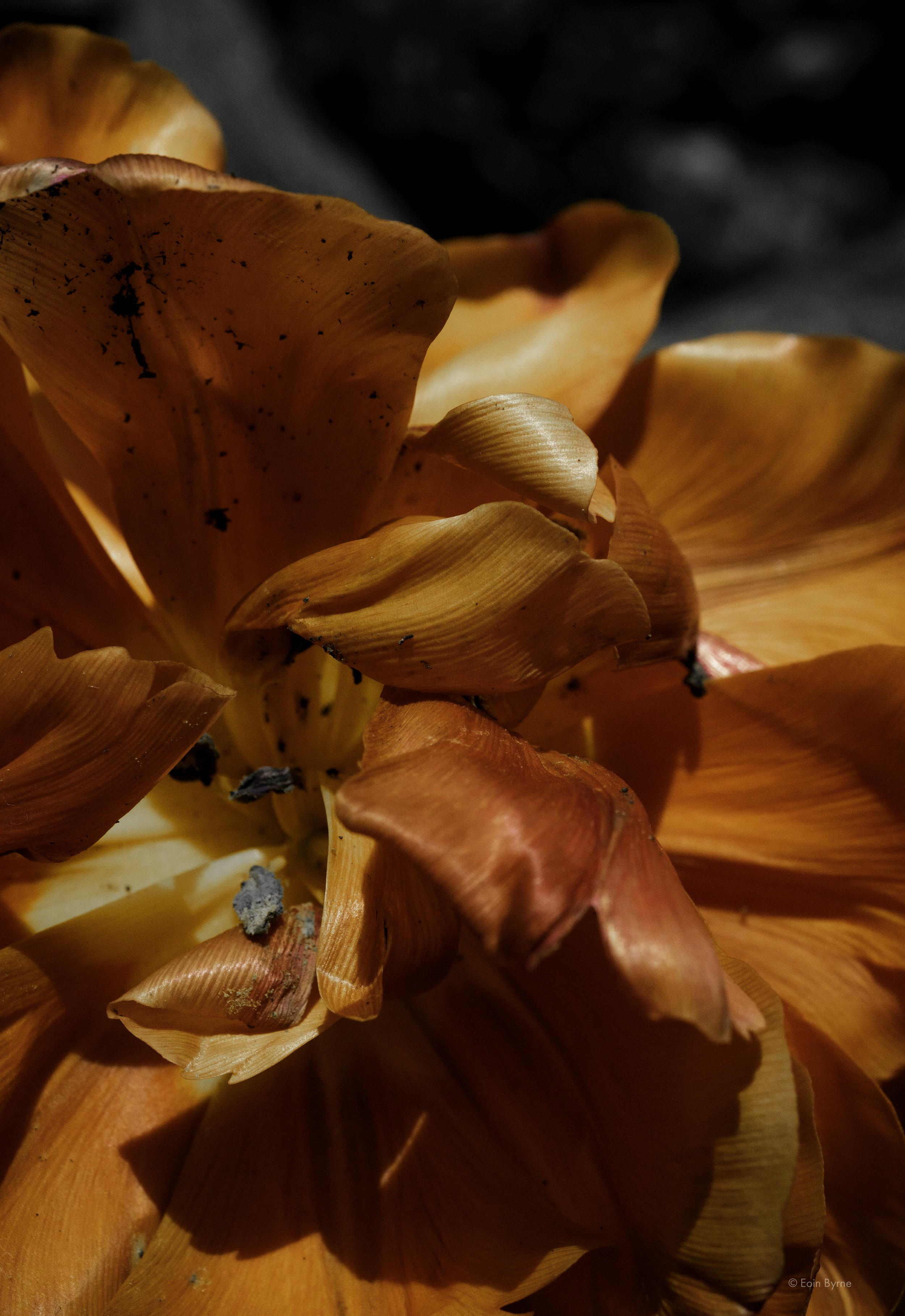 Fallen tulips 2.jpg