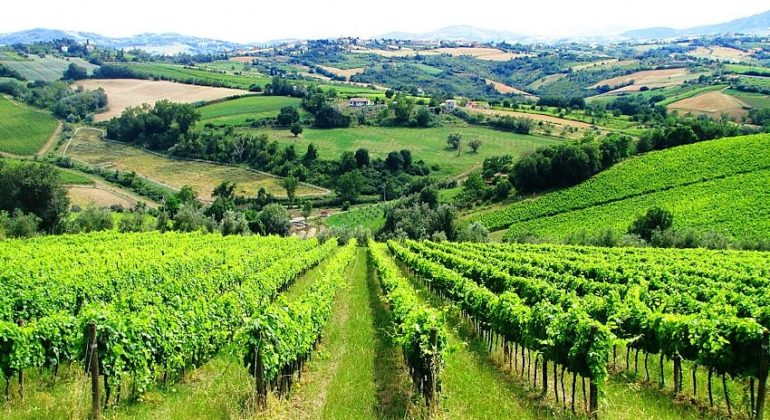 Vineyards in the Colli Tortonesi region of Piedmont
