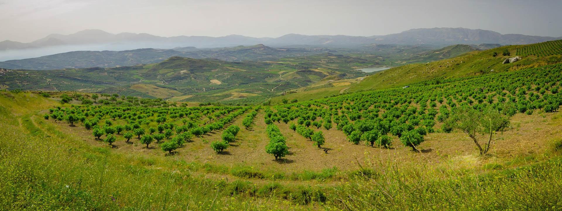 Vilana.Pirovolikes.Vineyard.Photo.jpg