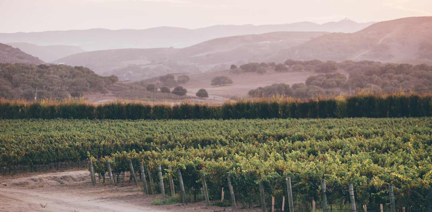Some of the vineyards at Melville Winery.