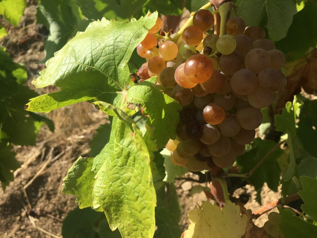 Some of the grapes grown at DomaineRéveille