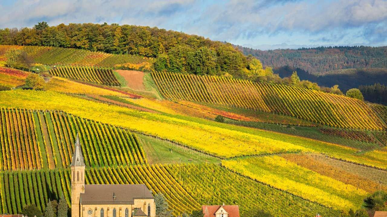 Vineyards in Pfalz.