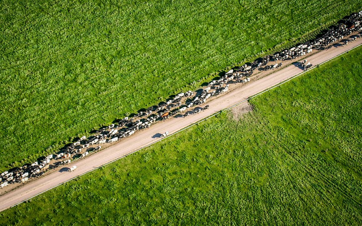 Wrangeback cows on the move