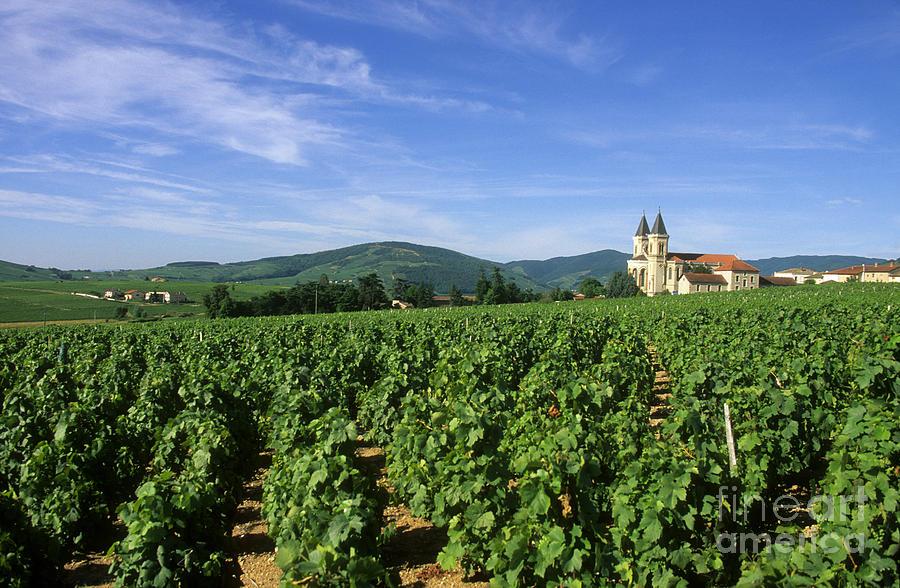 Vineyards in Régnié, Beaujolais