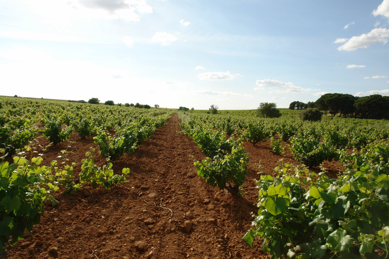 Vineyards in Manchuela.