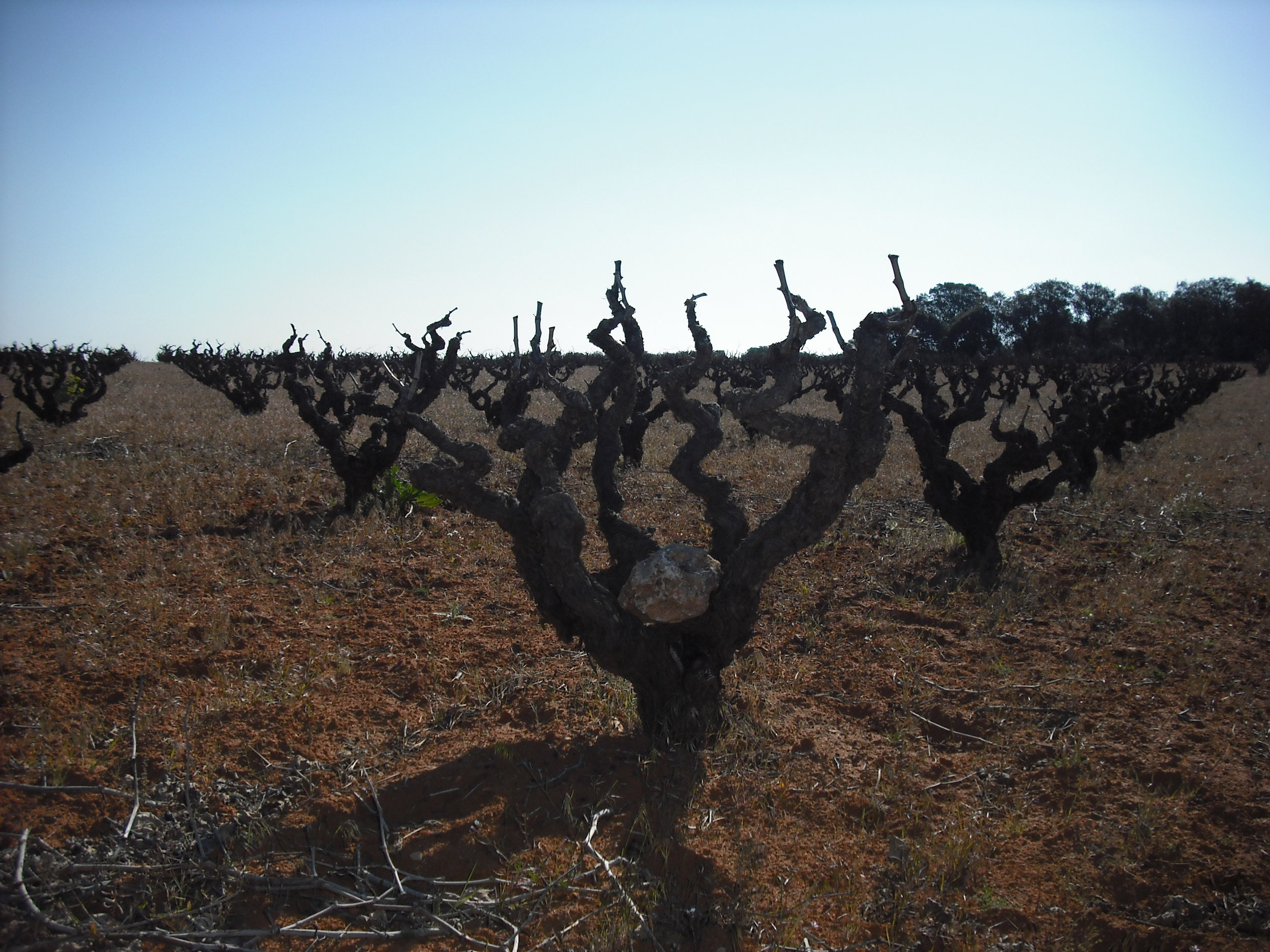 The gnarled Bobal vines of Bodegas Ponce.
