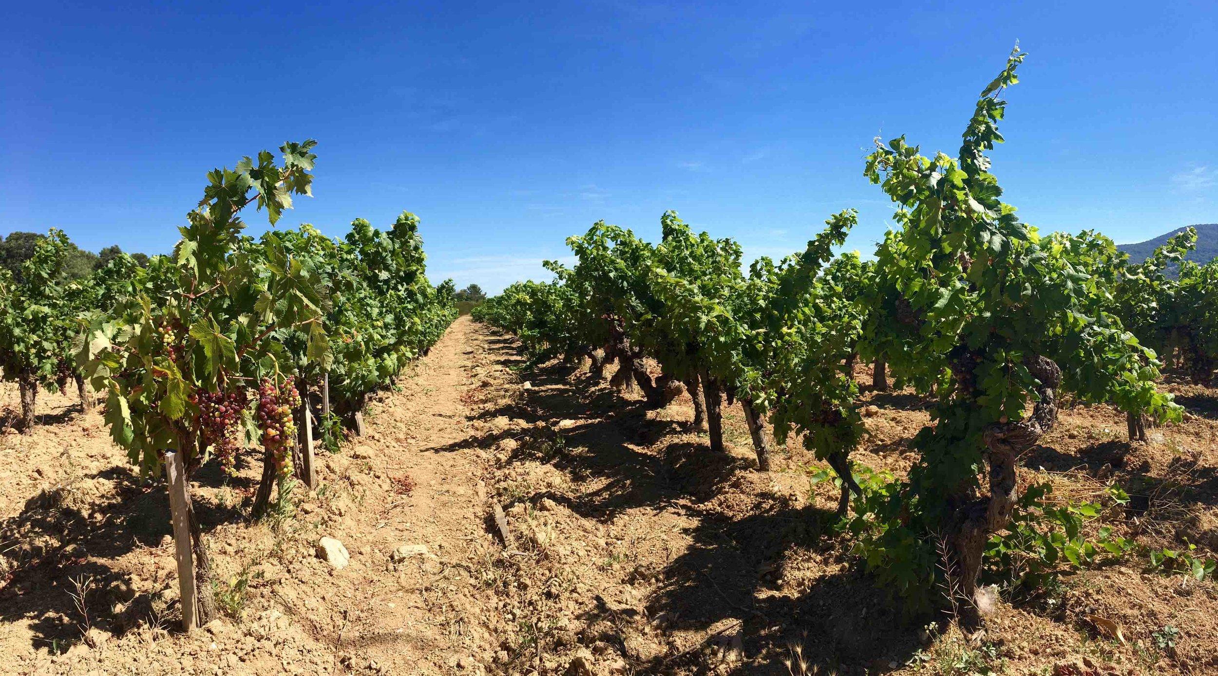 Vineyards of Clos Cibonne famed Tibouren.