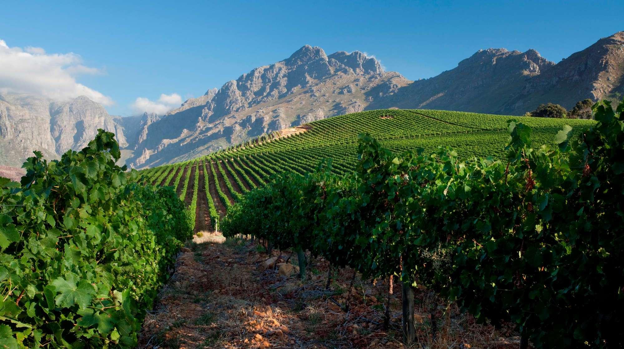 Vineyards in Stellenbosch.