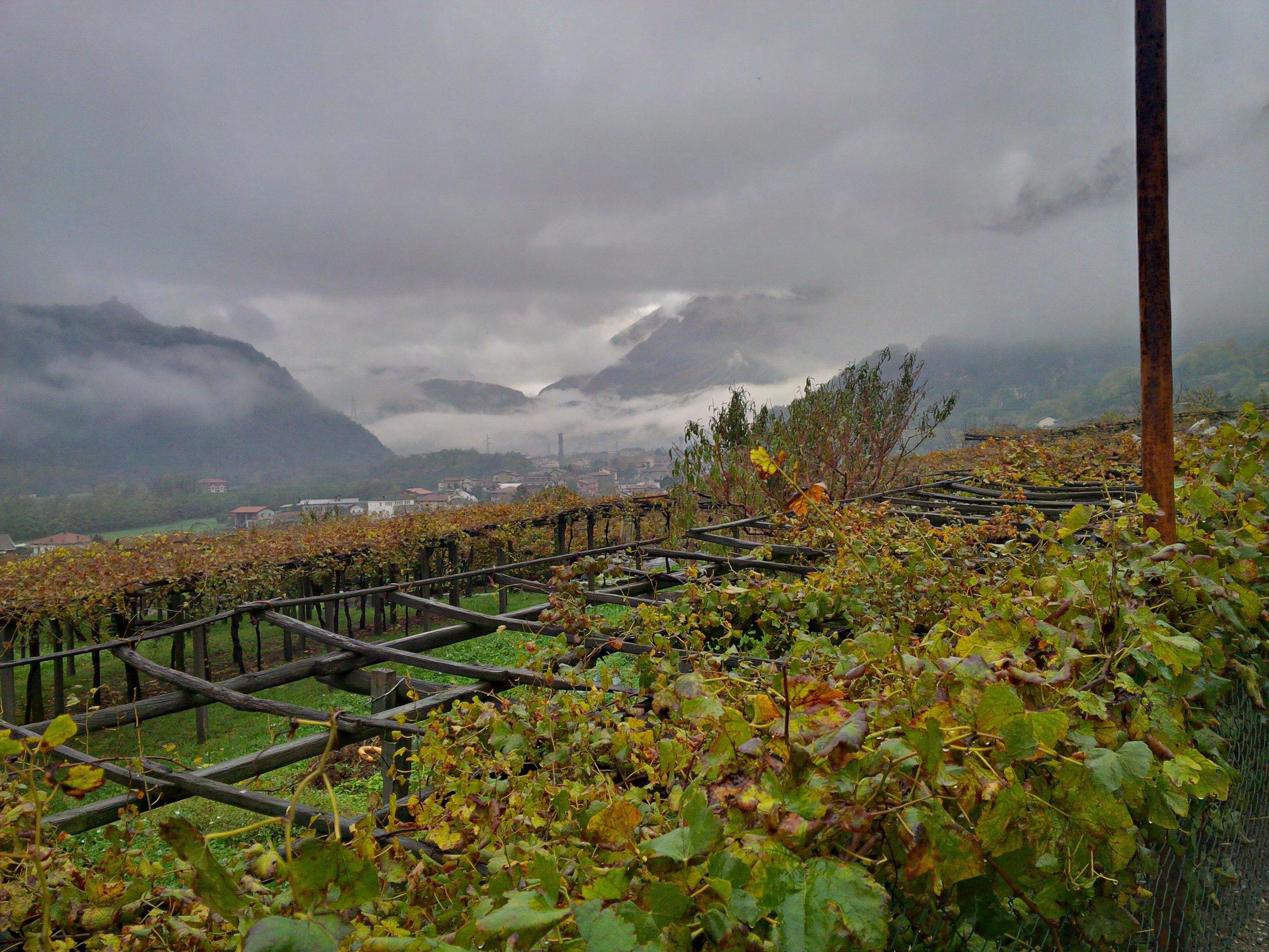 The vineyards at Luigi Ferrando's estate