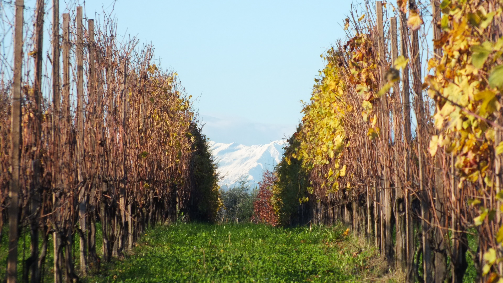 Vineyards in Alto Piemonte.