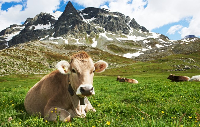 A Swiss Swiss Brown Cow chillaxing in the wildflowers in the Alps