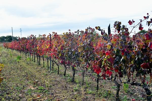 Montepulciano vineyard at Muscari Tomajoli in Lazio
