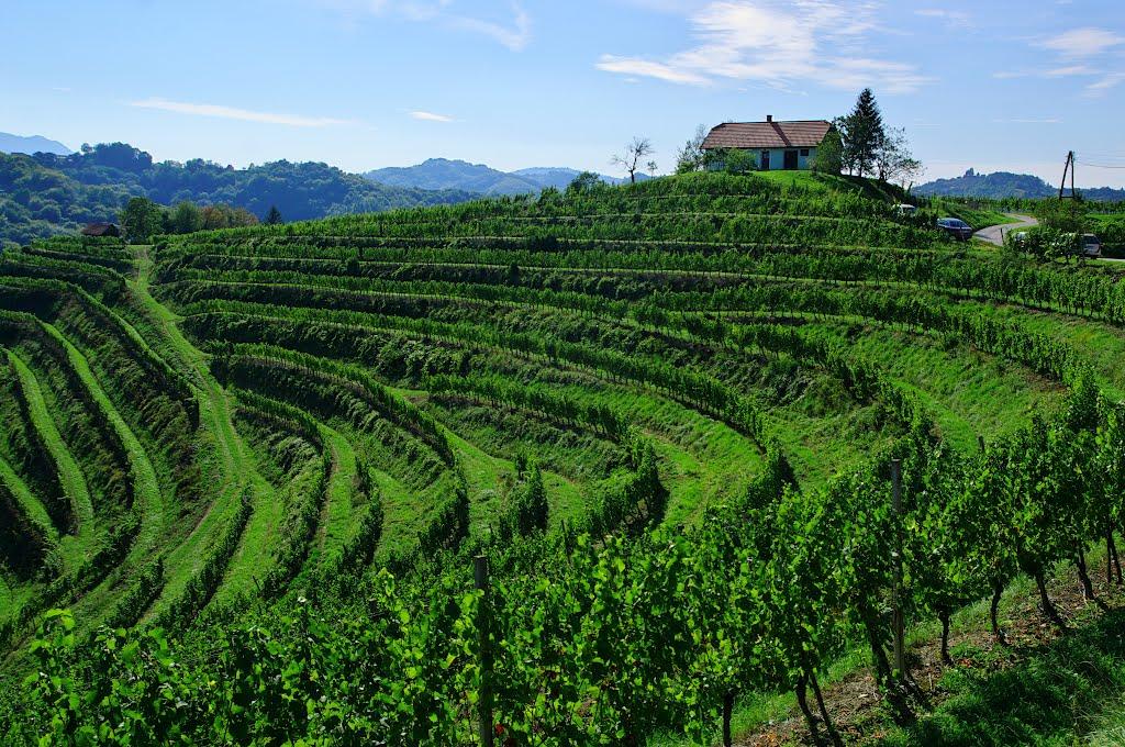 A vineyard in Northeast Slovenia