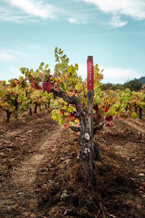Vines living their best life in Fox Hill Vineyard