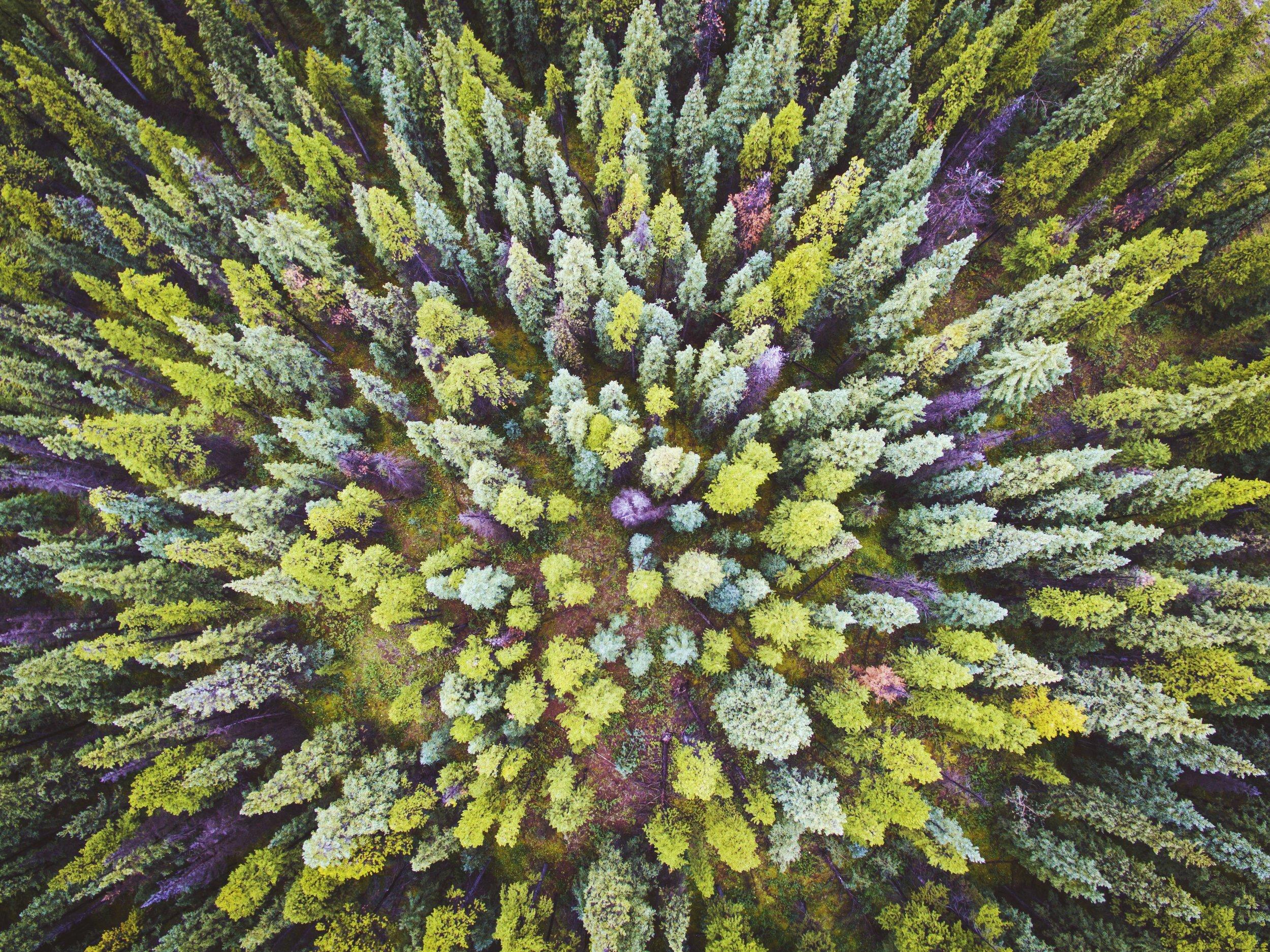 Pine Forest in Nordegg, Alberta