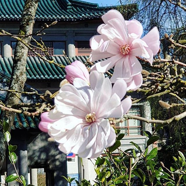 The sunny weekend ahead calls for a visit to the Garden 🌸 #ChinatownYVR @dinsnaturepics